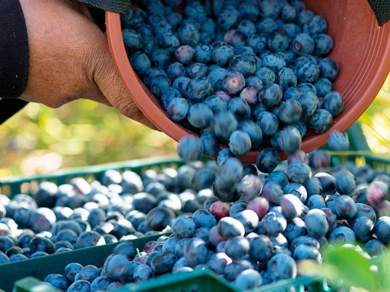 Exportaciones chilenas de arándanos acumulan más de 103 mil toneladas